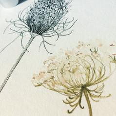 Illustration botanique, détail