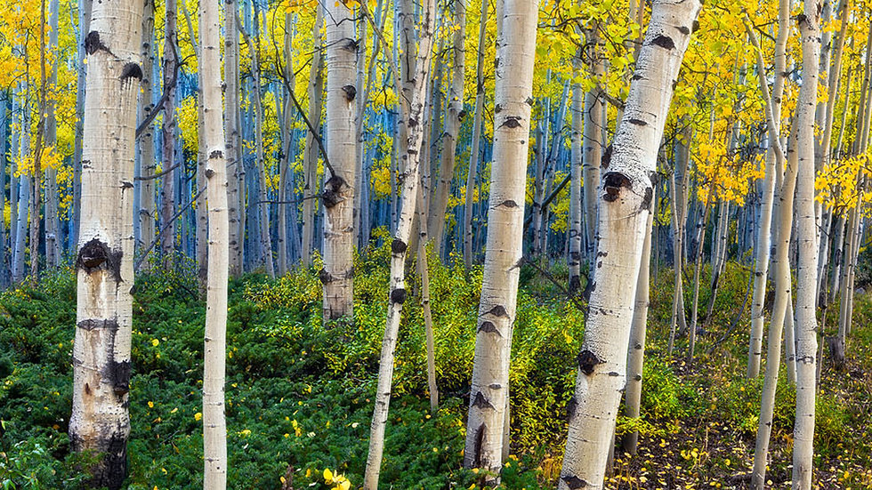 Beauty-Of-Aspen-Trees-Colorado-Picture-H