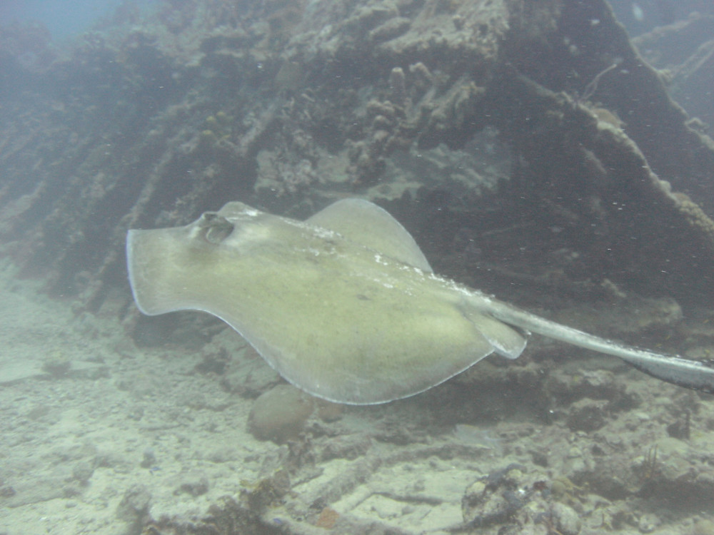 Diving with Rays While diving in St. Thomas with Admiralty Dive Center