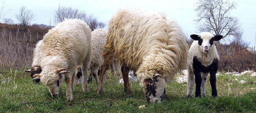 Sheep_0983_980.jpg