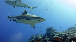 Shark sanctuary in Samoa