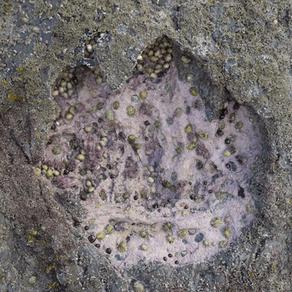 Dinosaurs footprints on Isle of Skye