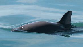 Porpoise in danger