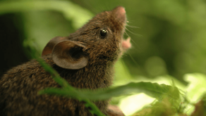 The singing mice
