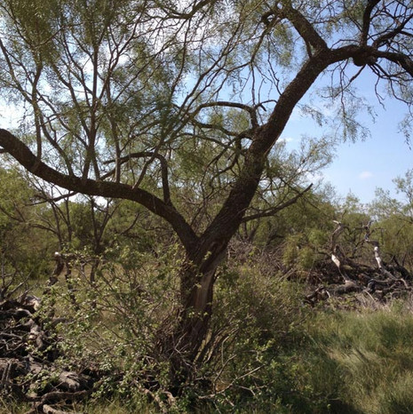 Typical-Mesquite-Tree-.jpg