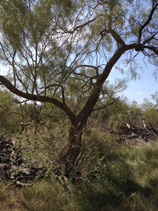 Typical-Mesquite-Tree-.jpg