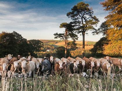 cattle-2250.jpg