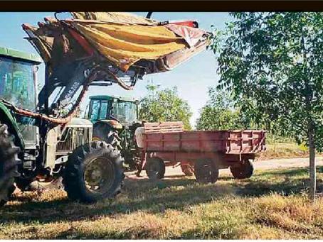 """Noz pecan ganha espaço no RS, e produtores contam com """"mão mecânica"""" na colheita"""