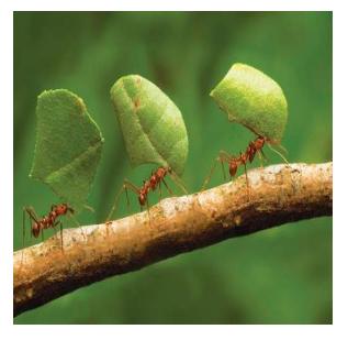 Formigas cortadeiras, por que controlar e qual melhor estratégia?