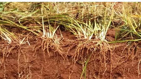 Embrapa divulga curso Manejo do solo com foco em sistemas integrados de produção.