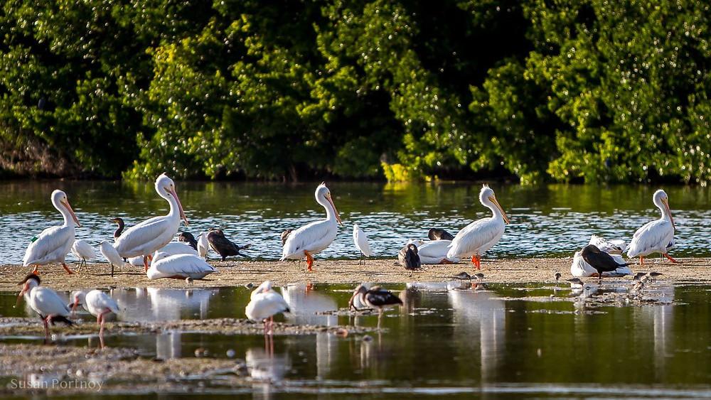 "Image of various birds in J.N. ""Ding"" Darling National Wildlife Refuge"