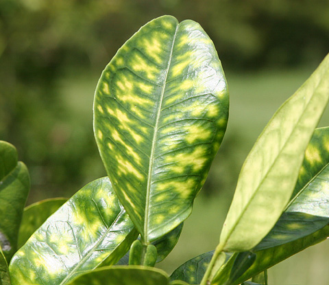 Symptoms of citrus greening disease