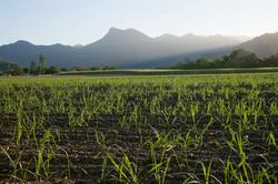 Sugarcane farms in Crains, Australia
