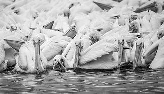 Pelicans--2.jpg