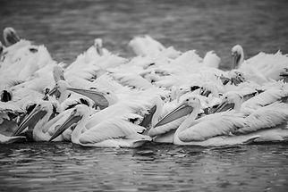 Pelicans-6919.jpg
