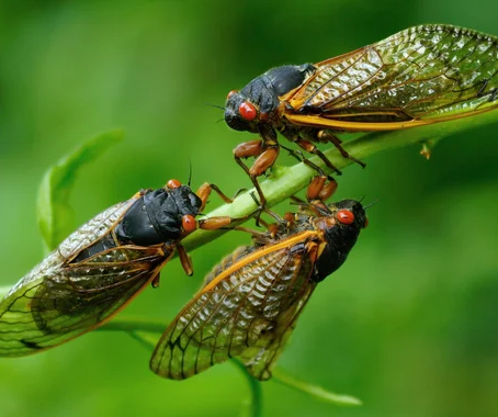 2021 Indiana cicada hatch is about to go off! Here's how to fish it!