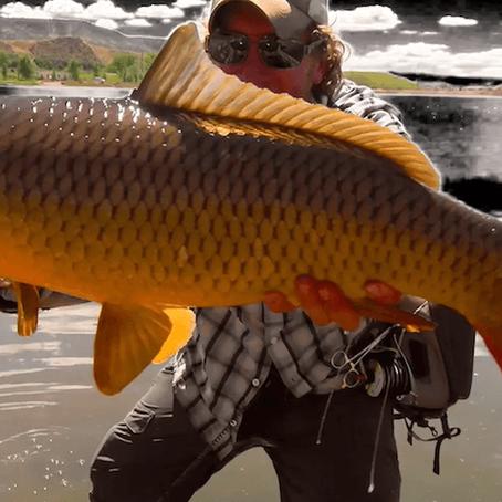 Giant Carp Taken on the Walton Rods Series One