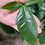 Thumbnail: Syngonium Trileaf Wonder Hanging Plant