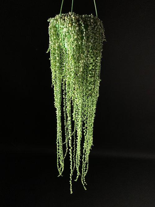 Variegated Senecio Rowleyanus: String of Pearls