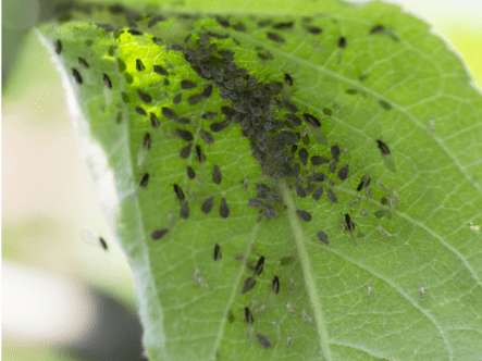 Plant Pests: Know Your Enemy!