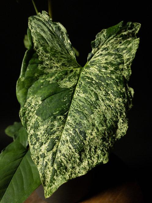 Syngonium Podophyllum Mottled