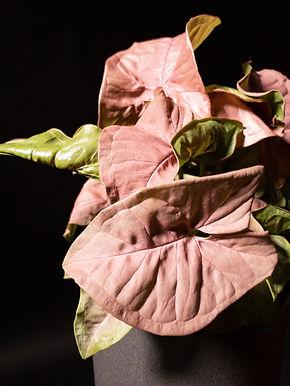 Syngonium Podophylum: Neon Robusta