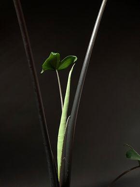 Black Alocasia Zebrina