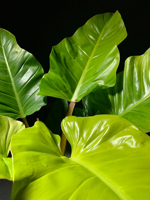 Philodendron Melinonii Ghost XL