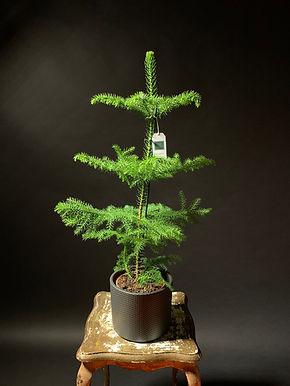 Araucaria Heterophylla: Norfolk Island Pine