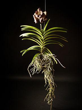 Vanda Tanyanee Orchid