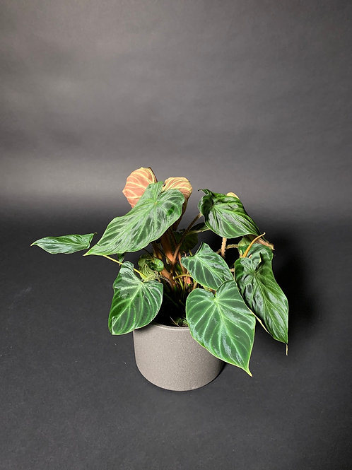 Philodendron Verrucosum small