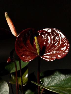 Anthurium 'Black Love'