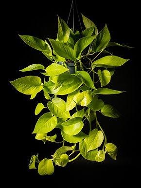 Scindapsus Neon Pothos
