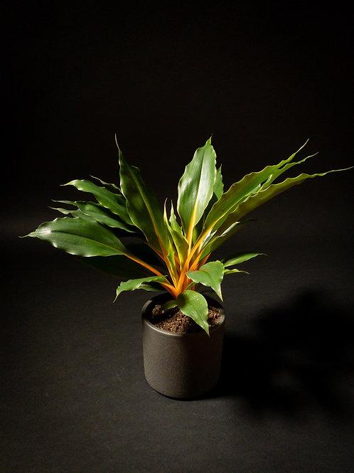 Chlorophytum Green Orange: Siera Leone Lily