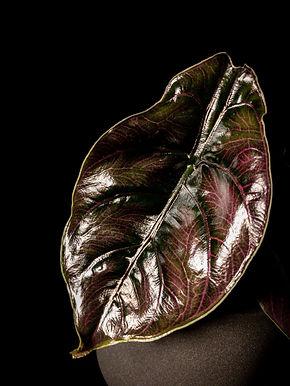 Alocasia Azlanii: 'Red Mambo' Jewel Alocasia