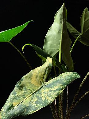 Alocasia Zebrina Variegata