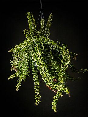 Aeschynanthus Twister: Lipstick Plant