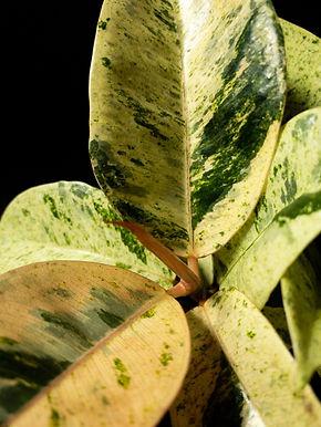 Ficus Elastica Shivereana: Ficus Elastica Moonshine