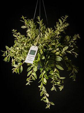 Aeschynanthus Bolero Bicolore: LipstickPlant