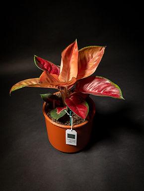 Aglaonema Orange Star