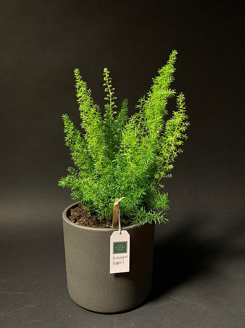 Asparagus Meyereii: Foxtail Fern