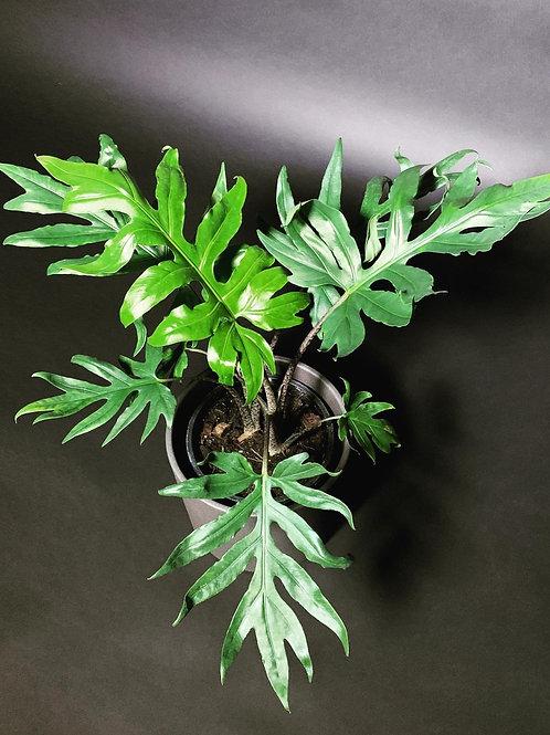 Alocasia Brancifolia 'Pink Passion'