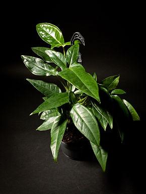 Syngonium Trileaf Wonder Hanging Plant
