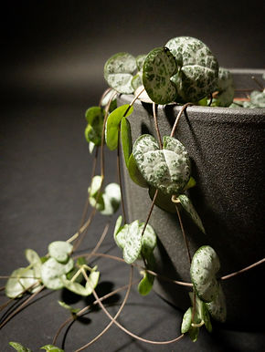 Ceropegia Woodii: String of Hearts
