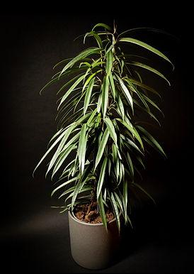 Ficus Maclellandii Alii: Sabre Fig
