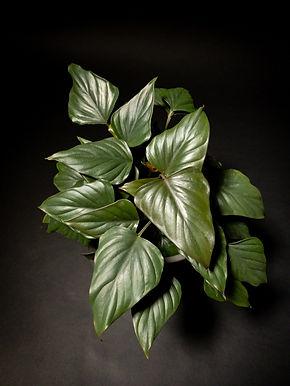 Philodendron Arrowhead