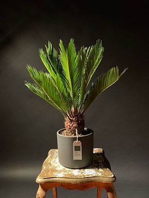 Cycad Revoluta: Sago Palm