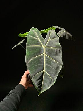 Alocasia Frydek Green Velvet