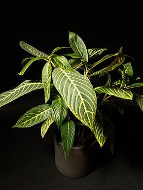 Sanchezia Speciosa: Golden Vein Plant