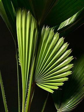 Licuala Grandis: Ruffled Fan Palm